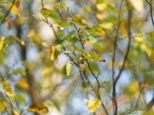 birch tree focused